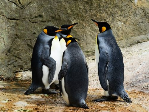 The world's biggest colony of king penguins has shrunk by 90% - and mice may be to blame