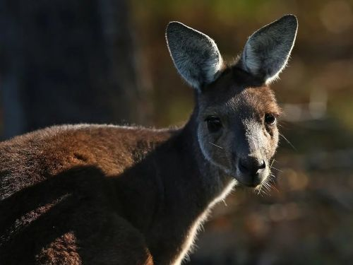 Kangaroo tendons may soon be used to fix human knee, ankle and shoulder injuries