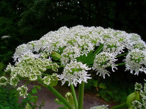 This highly toxic plant causes burns and blindness - and it's spreading across the U.S