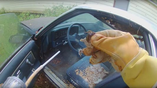 Bee Man Clearing Chevrolet El Camino of Giant European Hornet Nest: 'I'm Going to Need a Bigger Bag'