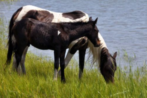 How to See the Chincoteague Ponies Year-Round