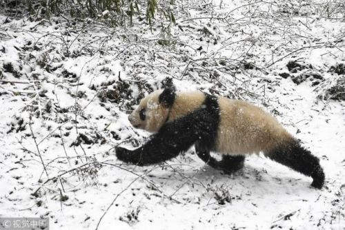 Two giant pandas released to the wild