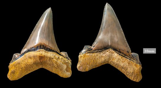 The megalodon wasn't the only megashark with giant teeth - check out these teeth from the great jagged narrow-toothed shark
