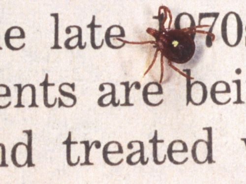 The ticks that make people allergic to red meat with their bites continue to spread