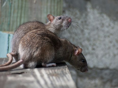 Rats chewed through almost $18,000 worth of cash inside an ATM in India
