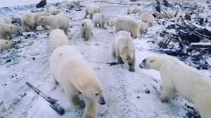 Polar Bears migrate to Russian town, state of emergency declared