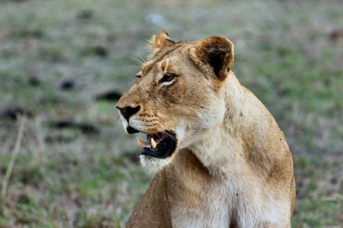 A lioness killed the father of their 3 cubs, and zookeepers say they aren't sure what provoked the attack