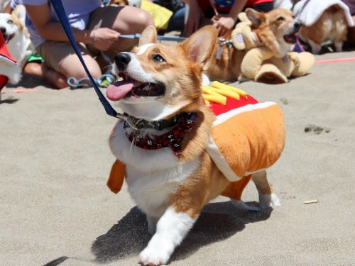 A bunch of corgis spent a day at the beach for Corgi Con and had a better weekend than you