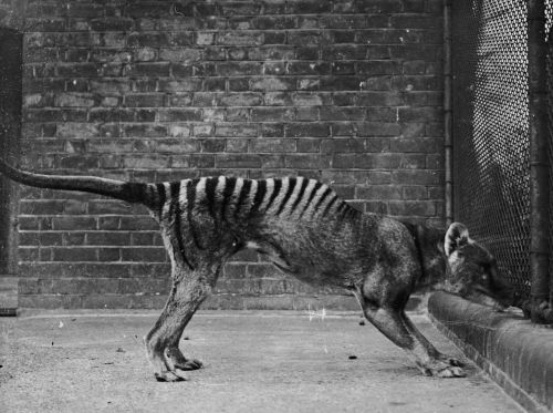 The last Tasmanian tiger is thought to have died more than 80 years ago. But 8 recent sightings suggest the creature might not be gone