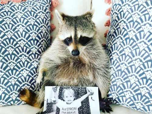 Influencer raccoons with millions of followers are taking over Instagram - but it's difficult to own one