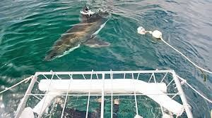 Nelson Mandela Bay soon to launch shark-cage diving