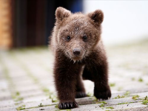 Here are some cute photos of a orphaned bear cub that a mountain village in Bosnia took in