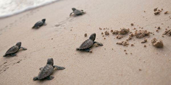 Get Close to Sea Turtles in Puerto Vallarta