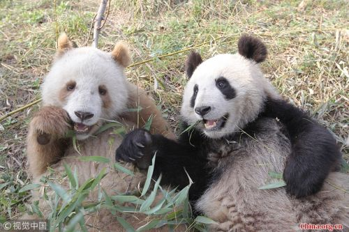 Rare brown panda shows up in China