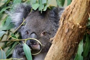 Longleat unveils international Koala breeding programme