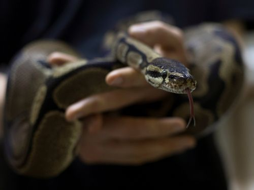 Police in Indonesia apologized after officers draped a live snake around a suspect's neck to get him to confess during an interrogation