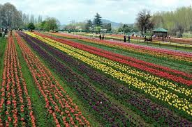 Tourist rush in Tulip Garden raises alarm