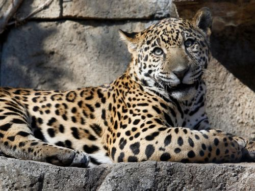 After a jaguar attacked a woman attempting to take a selfie, an Arizona zoo warned guests about staying behind barriers