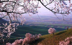 Flower tours attracting tourists in Xinjiang