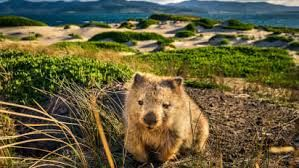 Australia wants visitors to Maria Island to desist from taking wombat selfies