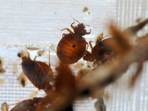 Bedbugs may be traveling home in your suitcase - here's how to keep them away
