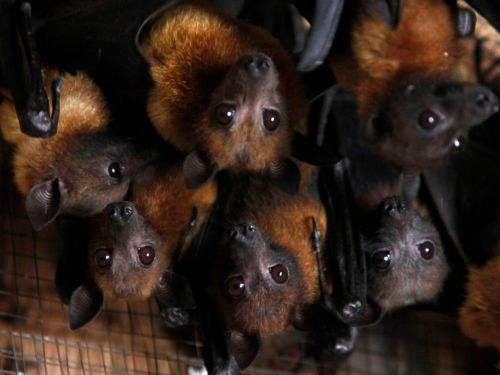 A little-known, rare, and extremely deadly virus has emerged and killed people in India - here's what to know about Nipah virus