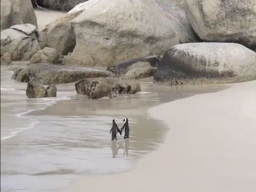 A video of two penguins strolling down the beach hand-in-hand has gone viral - and the internet is ugly crying