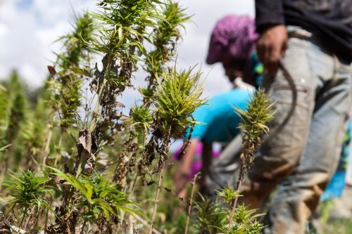 Lebanon will legalize growing marijuana after McKinsey evaluated it as a boost for the country's troubled economy