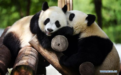Giant pandas seen in Shaanxi