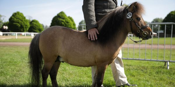 Southwest Airlines is formally allowing miniature horses on its planes as service animals