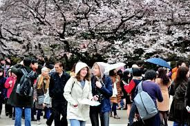 Japan tourism flourish as cherry trees attract visitors worldwide