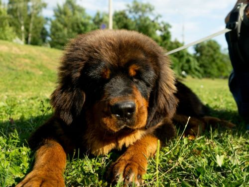 10 of the most expensive dog breeds