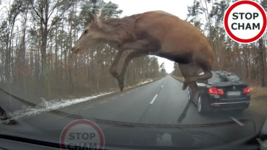 Sorry I'm Late, A Massive Deer Used My BMW As A Springboard