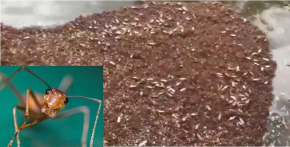 Hurricane Florence flooding has caused colonies of dangerous fire ants to form floating 'rafts'