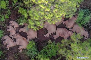 China to guide wandering elephant herd to suitable habitat