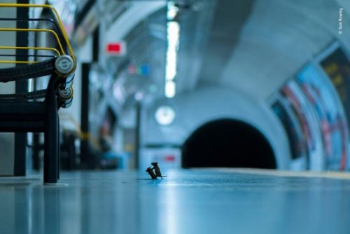 Mice brawling in a London tube station made for one of the best wildlife photos of the year
