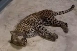 2nd of 3 missing safari park leopards captured in Hangzhou